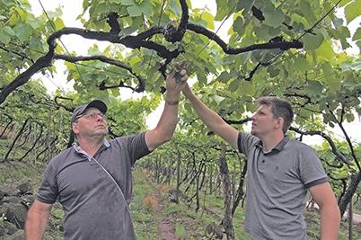 Os agricultores Luiz e Maurício Gizeria têm enfrentado problemas nos parreirais.